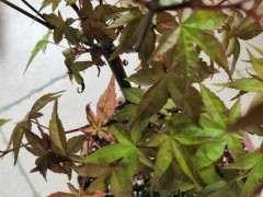 红枫下山桩上盆 半个月叶尖焦黑 怎么办
