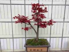 红枫下山桩 在秋季能种吗 图片