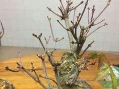 红枫下山桩的枝干变成了灰色 怎么办 图片