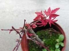 红枫下山桩如何定向绑枝的方法 图片