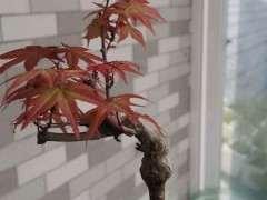 红枫下山桩树叶一样纤细 这是什么品种