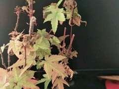 红枫下山桩叶子枯萎是什么原因 图片