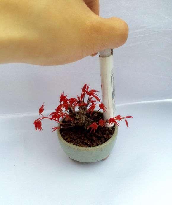 日本原生出猩猩红枫微型盆景