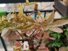 为什么红枫下山桩扦插容易生根 图片