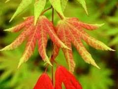 春季红枫下山桩新叶 黄绿交错 怎么办