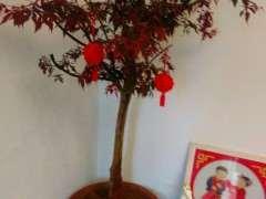 红枫下山桩室内叶子枯是怎么回事 图片