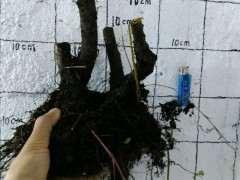 火棘下山桩一本丛林桩 欢迎欣赏 图片