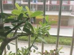 火棘下山桩叶子黄斑是怎么了 图片