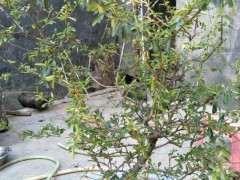 春季火棘下山桩可以修剪枝条吗 图片