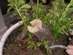 火棘下山桩摘袋回芽怎么办 图片