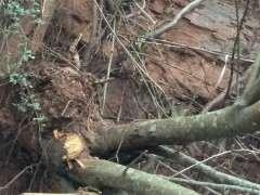 挖火棘下山桩的时候 弄断主根 怎么办