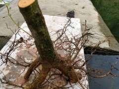 为什么火棘下山桩要修剪根须 图片