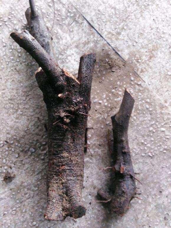 火棘下山桩怎么制作高提根的方法 图片
