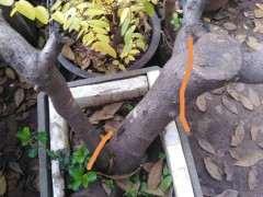 火棘下山桩去膜后回芽失枝 怎么办 图片