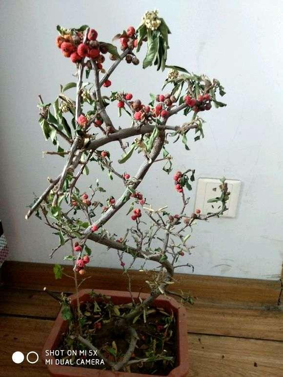 9月份修剪火棘下山桩 会影响来年开花