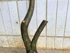 怎样才能让火棘下山桩的枝条长粗 图片