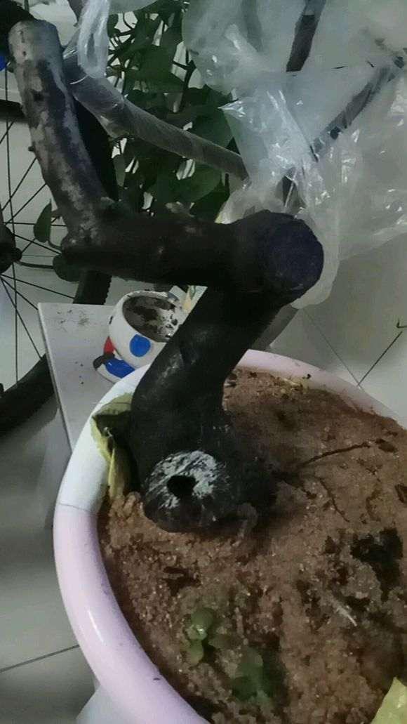 火棘下山桩 缠膜1个月 没发芽 怎么办