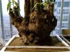 梅花下山桩怎么用生根粉的方法 图片