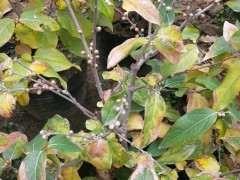 盆栽梅花下山桩怎么控水肥的方法