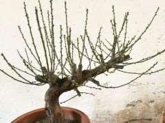 盆栽梅花下山桩怎么配土的方法 图片