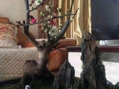 梅花下山桩用啥树作的砧木 怎么选 图片