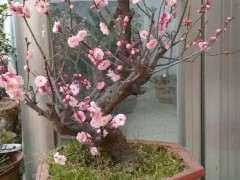 鲁南大集卖梅花下山桩盆景的多吗