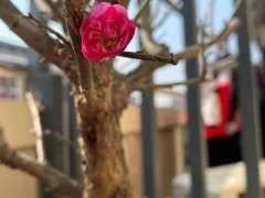 第一次养梅花下山桩 明年能否开花 图片