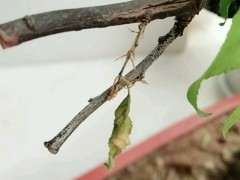 梅花下山桩枝条是起白皮 叶子干了 怎么办