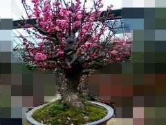 盆栽梅花下山桩用什么土壤 最好 图片