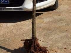 梅花下山桩用椰砖土可以盆栽吗 图片