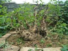 自己从山上挖来种的梅花下山桩 可以吗