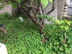 图解 地栽梅花下山桩怎么换盆栽的方法