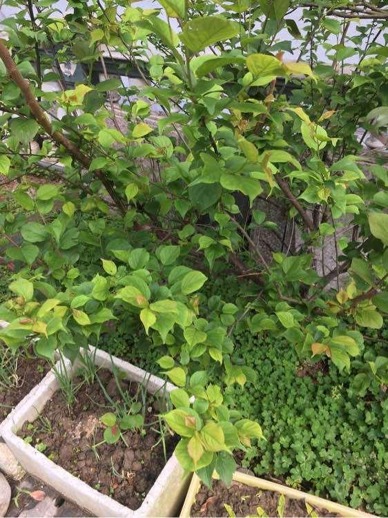 梅花下山桩用什么样的土栽培 最好 图片