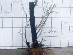 盆栽梅花下山桩 冬天可以室外越冬吗
