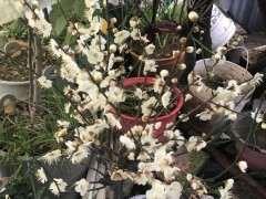 梅花下山桩有没有好的品种 图片