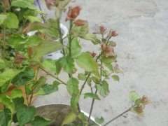 梅花下山桩叶子顶部皱褶 怎么办 图片