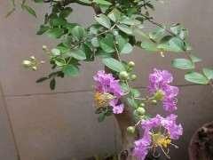 请问是紫薇下山桩 还是马灵光 图片