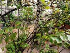 紫薇下山桩树上有白斑怎么处理 图片