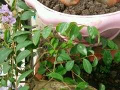 紫薇下山桩叶子长白毛 怎么办 图片