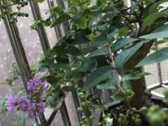 熟桩紫薇下山桩开出双色花 怎么办 图片