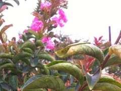 紫薇下山桩叶子是什么病 怎么办 图片