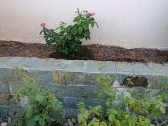 用红土种月季下山桩可以吗 怎么样 图片
