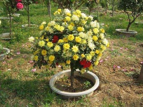春天 月季下山桩怎么栽种最好 图片