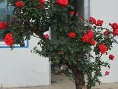 盆栽月季下山桩怎么配土的方法