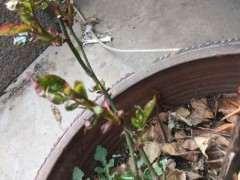 春季月季下山桩可以施什么肥 图片
