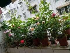 夏天阳台怎么盆栽月季下山桩 图片