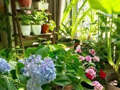 什么月季下山桩适合室内阳台盆栽 图片