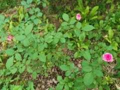 地栽月季下山桩和盆栽有什么区别 图片