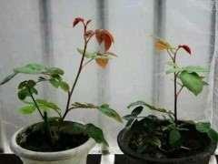 月季下山桩花怎么养护才适合呢 图片