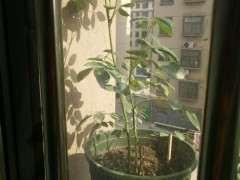 夏季盆栽月季下山桩怎么施肥 图片